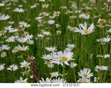 Oxeye Daisy Field With White Flowers, Background Texture. Focus On 2 Flowers Centre Low