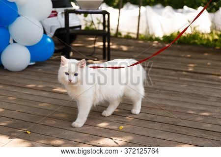 White Angora Cat With Blue Eyes Walking With A Leash.