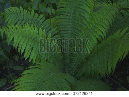 Fern In The Summer. Fern Leaves Close Up. Beautifully Body Of Young Leaves Of Green Ferns. Fern In T