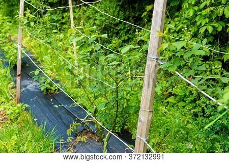 Agrofiber On A Farm For Growing Shrubs. Variety Of Dark Blackberries Without Thorns. Berry Bush Duri