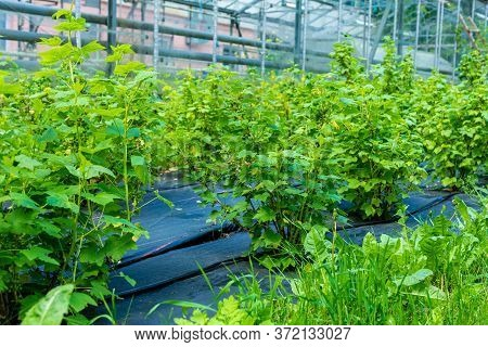 Agrofiber On A Farm For Growing Shrubs. Unripe Green Currant Bush In The Spring.