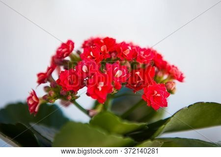 Small Red Flowers Of Kalanchoe, Close Up