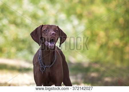 Hungarian Short-haired Pointing Dog - Vizsla - Portrait Of Dog From Front With Open Mouth Where Teet