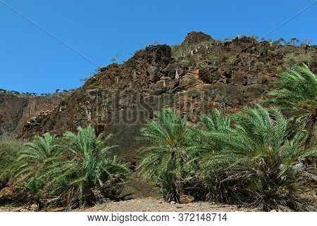 Socotra Island Landscape, Yemen. Palm Trees And Flowering Bottle Trees,  Endemic Trees Adenium Obesu