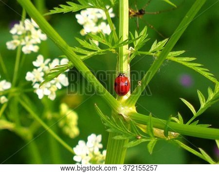 Red Ladybug Walks On A Green Stalk Of A Young Plant Under Sunlight Close Up In Spring. Rope Walker B