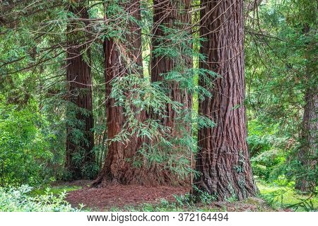 Straight Trunks Of Evergreen Trees Cryptomeria. Forest Of Straight Cryptomeria Trees, Or Japanese Ce
