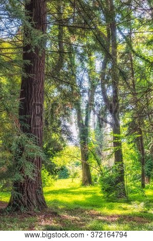 Forest Of Straight Cryptomeria Trees, Or Japanese Cedar In Sunset Light. Dense Forest Of Cryptomeria