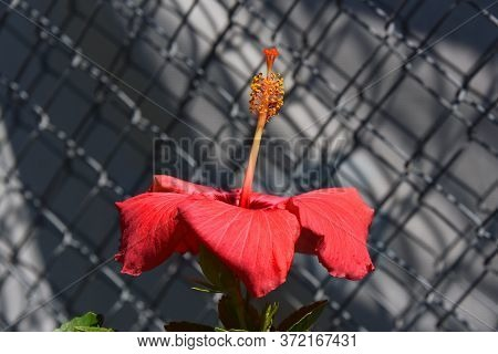 Profile Image Shows Hibiscus And Tall Sepal.  Chain Link Fence Is In Background.