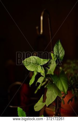Indoor Plant Anthurium In A Dark Room