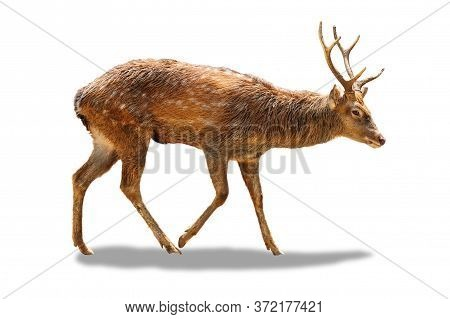 Male Chital Or Cheetal Deer (axis Axis),on White Isolate