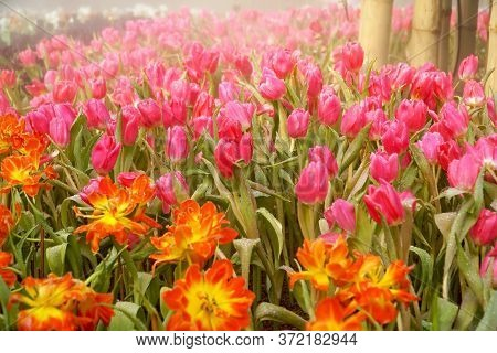 Group Of Colorful Tulip, Amazing Fresh Tulip Flowers Group Blooming In The Garden, Beautiful Bright
