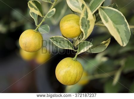 Close-up Of Small Oranges Tree With Spotted Leaves.the Fruit Eatable With High Vitamin C And The Sma