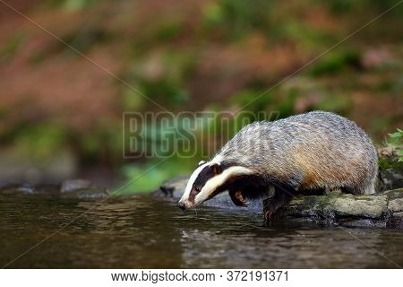 The European Badger (meles Meles) Also Known As The Eurasian Badger Or Simply Badger Drinks Water Fr