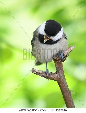 Close Up On Black Capped Chickadee Bird On The Tree Branch