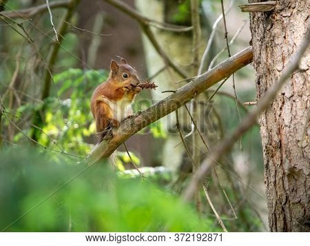 Red Squirrel Sits On A Branch And Nibbles A Fir Cone. Forest Background With Red Squirrel.