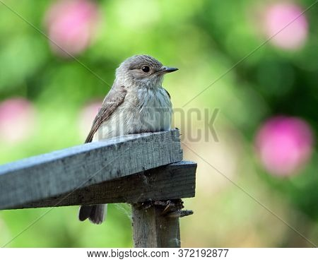 A Small Gray Flycatcher Sits On A Wooden Hedge Against A Bright Background. Muscicapa Striata. Summe