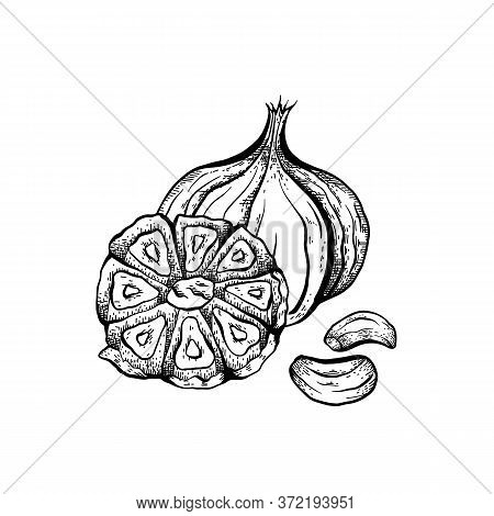 Sketch Garlic Illustration. Antibacterial Product For Health. Useful Seasoning For Cooking. Natural