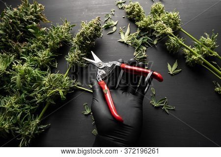 Mans Hands Trimming Marijuana Bud. Growers Trim Their Pot Buds Before Drying. Growers Trim Cannabis