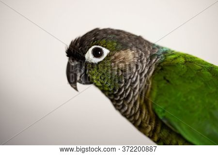 Captive Green Cheek Conure With A Blue Leg Ring (pyrrhura Molinae)
