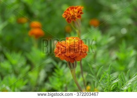 Orange Petals Of French Marigold Wite Water Droplets On Green Leaf, It Is An Annaul Flowering Plant