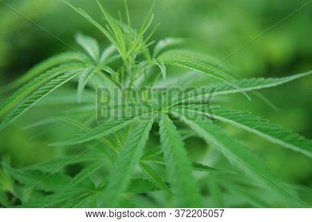 Close Up Of Marijuana Plant, Herb For Medicine