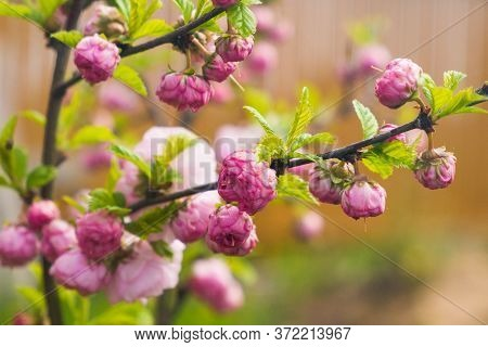 Pink Flowers On The Branch, Light Background