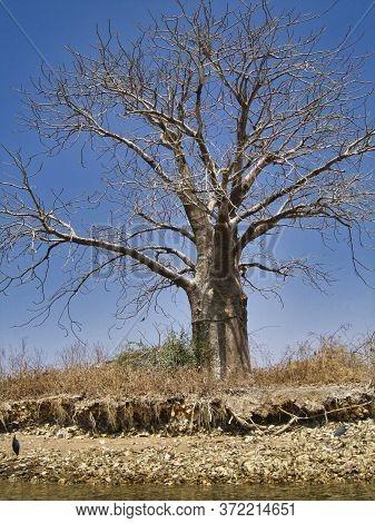 Baobab Tree, Sacred Plant In Africa. Dried Vegetation