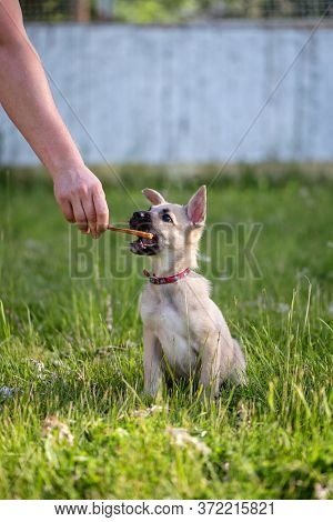 A Cute Beige Puppy With Big Ears Reaches For Food. Hand Holds Dog A Piece Of Meat In A Red Collar. T