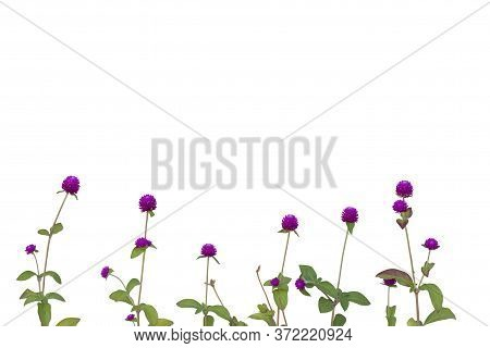 Purple Globe Amaranth Or Bachelor Button Flower Bloom Isolate On White Background Included Clipping