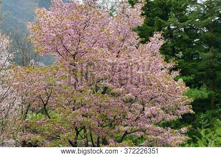 White And Pink Cherry Blossom In Full Bloom. Cherry Flowers In Small Clusters On A Cherry Tree Branc