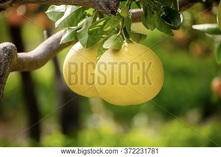 Ripe Pomelo Fruits Hang On The Trees In The Citrus Garden. Harvest Of Tropical Pomelo In Orchard. Po
