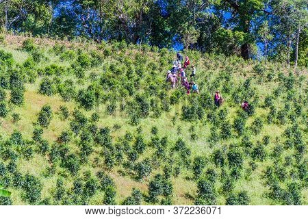 Kalaw, Myanmar - November 24, 2016: Local People Plucking Tea Leaves On A Plantation Near Kalaw Town