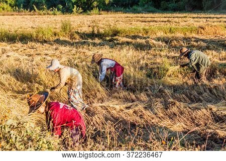 Kalaw, Myanmar - November 24, 2016: Villagers Harvesting Rice In The Area Between Kalaw And Inle, My