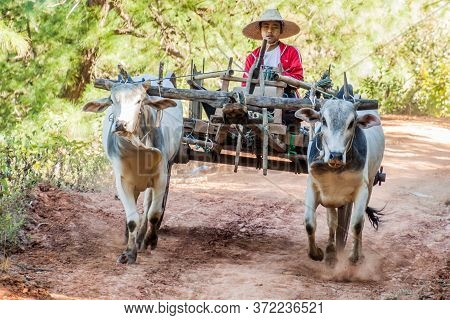 Kalaw, Myanmar - November 25, 2016: Zebu Cart In The Area Between Kalaw And Inle, Myanmar