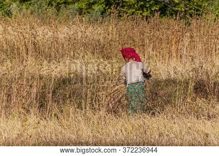 Kalaw, Myanmar - November 25, 2016: Villager During A Harvest In The Area Between Kalaw And Inle, My