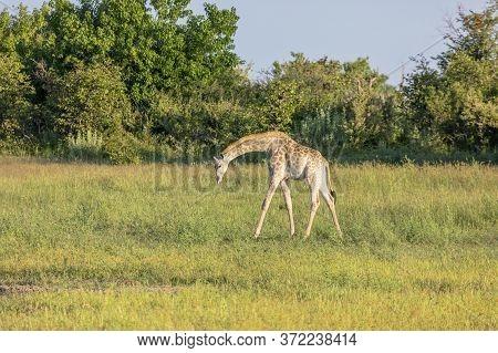 A Single Giraffe Looks For Food In The Grasslands Of The Okavango Delta In Botswana.