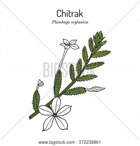 Ceylon Leadwort, Or Chitrak Plumbago Zeylanica , Medicinal Plant. Hand Drawn Botanical Vector Illust