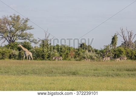 Giraffe And Zebra Look For Food Together In The Early Morning Sunshine Of The Okavango Delta.