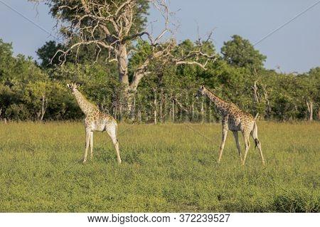 Two Giraffe Look For Suitable Food On The Okavango Delta In Botswana.