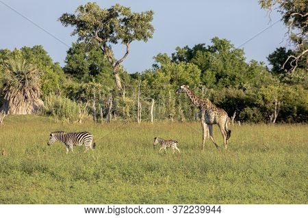 A Mother Zebra With Foal Is Joined By A Giraffe As They Look For Food In The Morning Sun On The Okav