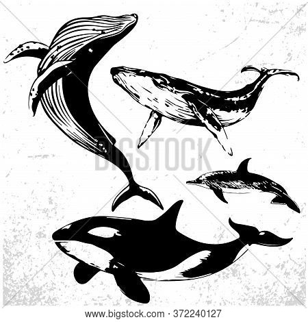 Set Of Whales In Simple Realistic Style. Vector Illustration Of Marine Mammals Black And White Drawi