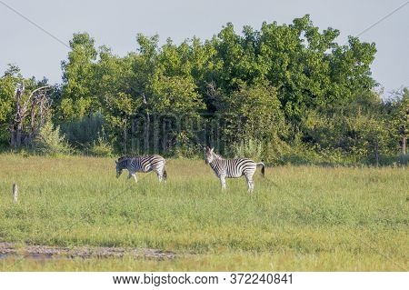 A Pair Of Zebra Grazing In The Early Morning Sun Of The Okavango Delta.