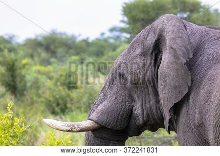 Side view of an adult African elephant clearing showing one of its\' tusks.