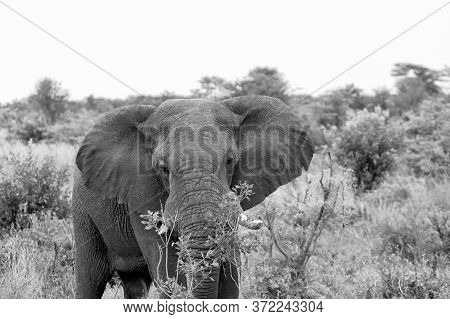 Black And White Image Of An Adult Elephant Feeding.