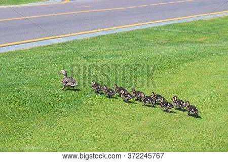 A Duck With A Brood Of сute Ducklings Goes On Green Grass Towards The Asphalt Road In Sammer Summer