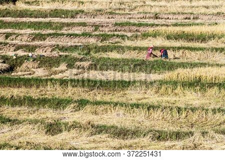 Kalaw, Myanmar - November 25, 2016: Villagers Harvesting Rice In The Area Between Kalaw And Inle, My
