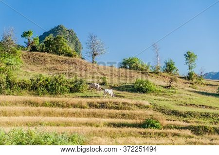Rural Landscape With Zebu In The Area Between Kalaw And Inle, Myanmar