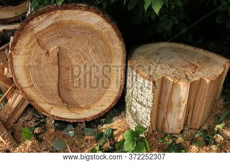 Freshly Cut Poplar Tree With Annual Rings. Close-up Of Round Logs On Blurred Nature Background. The