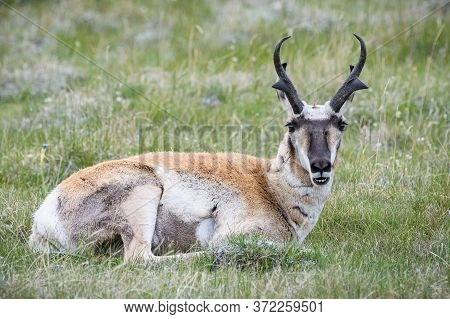 Migrating Pronghorn Adult In Prairie Grass And Wild Flowers