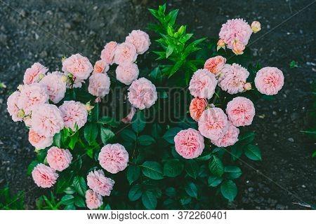 Bush Of Growing Pink Roses.bush Of Growing Pink Roses